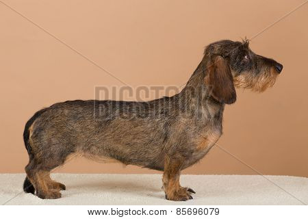 Female Portrait Of Brown Dachshund