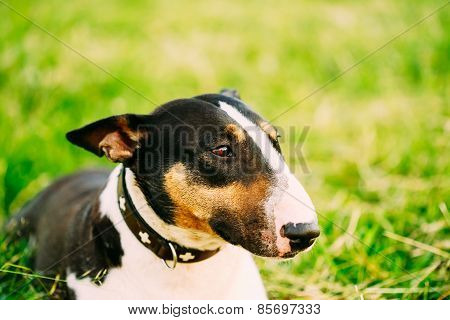 Close Pets Bull Terrier Dog Portrait In Green Grass