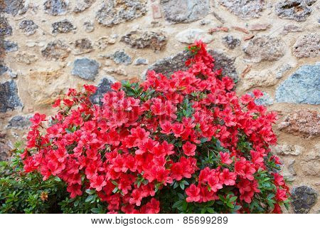 Big Bush Of An Red Azalea