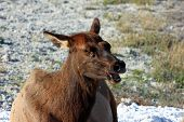 stock photo of wander  - This female elk calls for her calf who has wandered out of eyesight - JPG