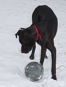 foto of great dane  - Black Great Dane in the snow playing with a ball - JPG