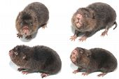 stock photo of mole  - the Mole in action isolate on white - JPG