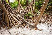image of monocots  - The roots of the screwpine Pandanus tectorius in a tropical island - JPG
