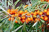 stock photo of sea-buckthorn  - Branch with orange berries of sea - JPG