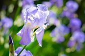 picture of purple iris  - Purple Iris ona a meadow - JPG