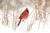 pic of cardinal-bird  - Male northern cardinal perched on a branch following a winter storm