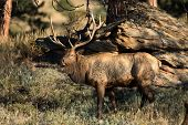 image of bull  - A large bull North American elk standing in an open meadow during the rut in Rocky Mountain National Park in Colorado - JPG