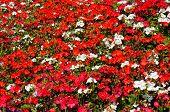 stock photo of begonias  - Red Begonias mixed with white Pelargoniums nature background - JPG