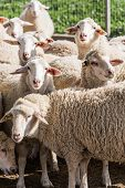 picture of ram  - herd of white rams in the countryside - JPG