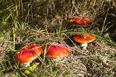 foto of poison  - Red poisonous mushrooms amanita muscaria growing up on green grass meadow - JPG