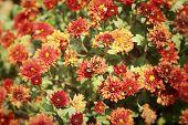 stock photo of chrysanthemum  - Chrysanthemum flowers with in the nature  - JPG