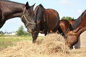 stock photo of herd horses  - Herd of brown horses eating dry hay in summer  - JPG