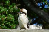 stock photo of kookaburra  - Kookaburra looking up and to the right on a branch - JPG