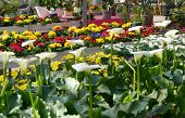 picture of arum lily  - Display or colorful flowers in a flower shop with white arum or calla lilies in the foreground with vivid multicolored primroses behind - JPG
