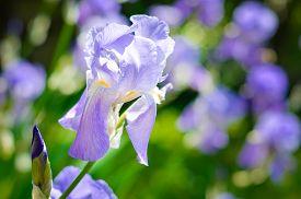stock photo of purple iris  - Purple Iris ona a meadow - JPG