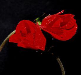 picture of windflowers  - anemone windflower LOWE LOVE lovers mydarling kissme - JPG