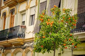 pic of valencia-orange  - Charming old houses and ornamental orange trees in Valencia Cabanyal district  - JPG