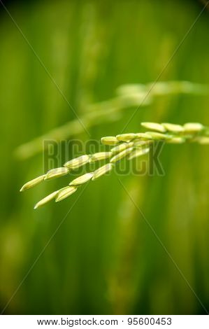 Rice Grain In Paddy Farm