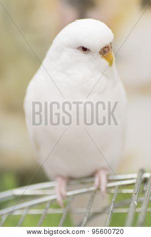 Albino budgie