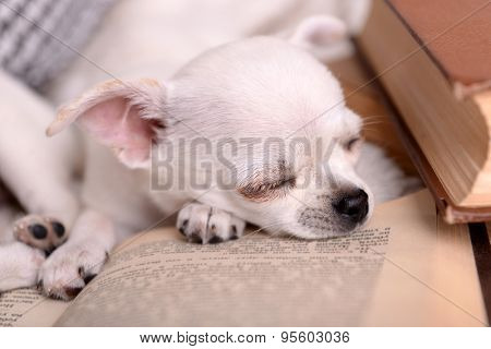 Adorable chihuahua dogs with books on sofa