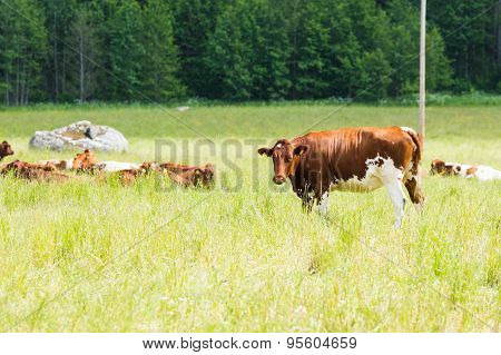 A Single Brown Cow Standing Near Herd