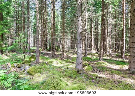 Pines In Pineforet