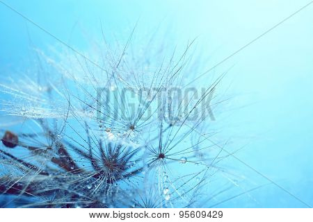 Beautiful dandelion with water drops on blue background