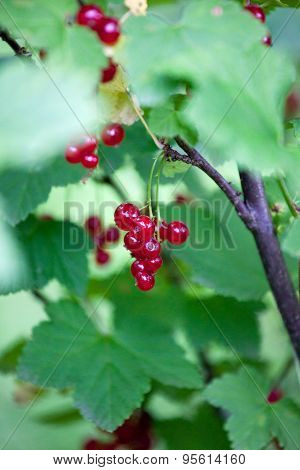 Red Currant On A Branch In The Garden