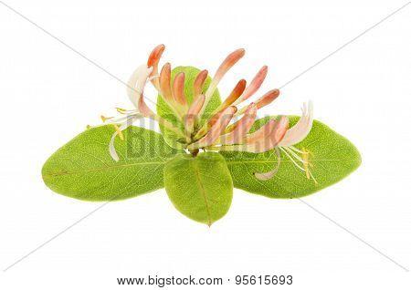 Wild Honeysuckle