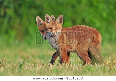 Two wild red foxes