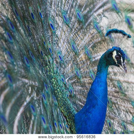 Portrait Of Beautiful Peacock With Open Tail