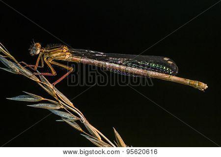Small bluetail (ischnura Pumilio)