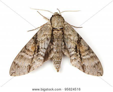 Ash Sphinx Moth
