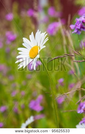 A Beautiful White Oxeye Daisy Standing Against A Green Backdrop