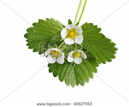Strawberry Leaf And Flower
