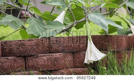 Moonflower Vine. Datura wrightii - Jimsonweed.