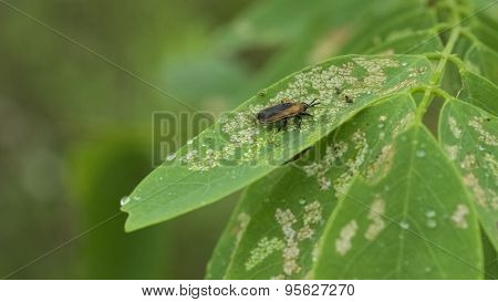 Locust Leafminer (Odontota dorsalis). Orange and Black Insect.