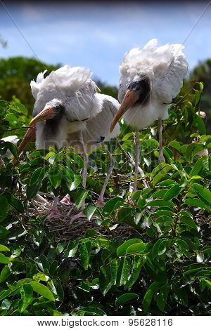 Two wood storks in nest.