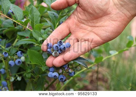 Man picking ripe blueberries on sunny day