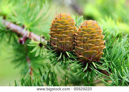 Pine Cone on needle tree