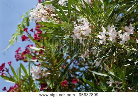White and pink oleander tree in blossom