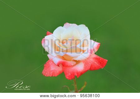 White and pink rose flower