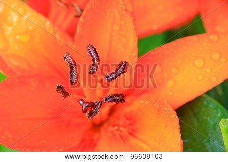 Close up shot of tiger Lily flower