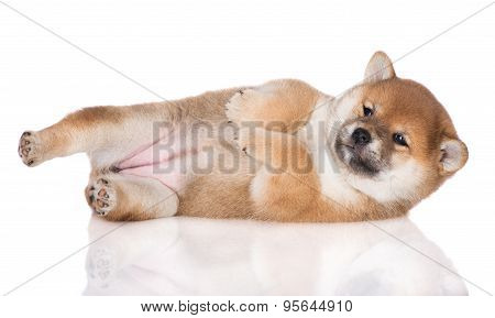 adorable red shiba inu puppy on white