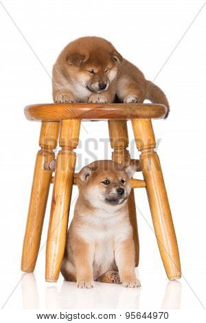 two adorable red shiba inu puppies