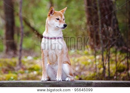 red shiba inu dog sitting outdoors