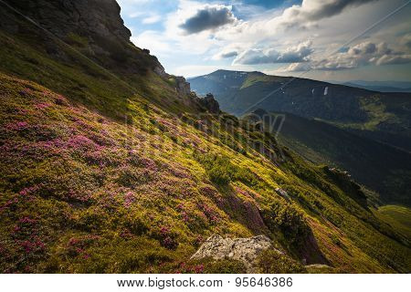 Magic Pink Rhododendron Flowers In The Mountains