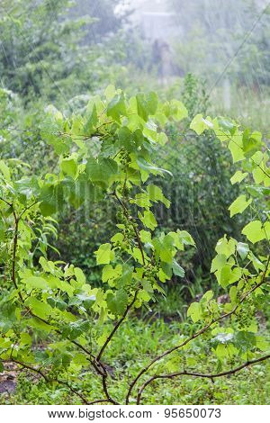 Grape Bushes During Heavy Rain