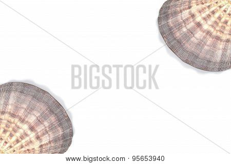 Seashell Lyropecten Nodosus