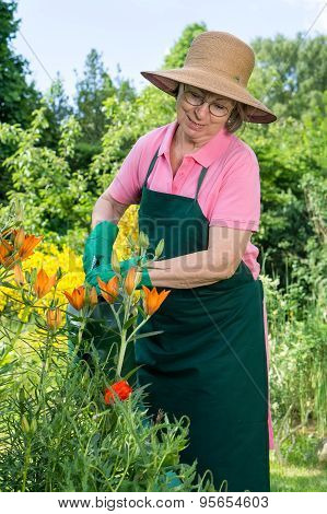 Middle-aged Woman Watering Orange Lilies